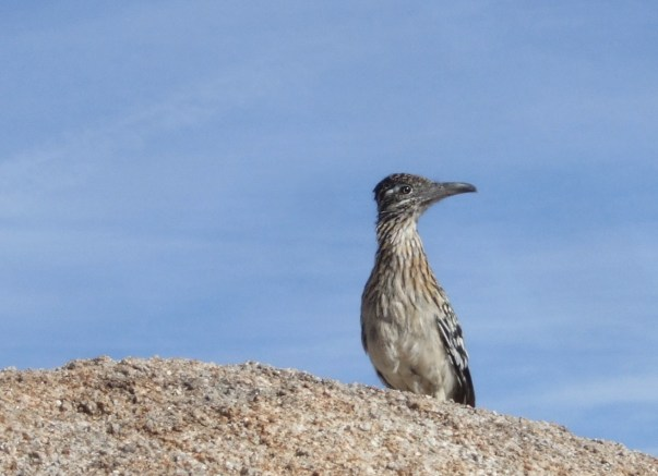 roadrunner (Geococcyx californianus).  click for another pic