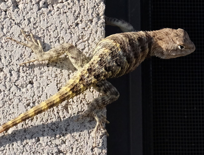 Sceloporus magister (juvenile), this morning